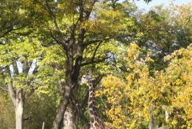 brookfield-zoo-giraffe2-jpg_28_550x370_20111026190740