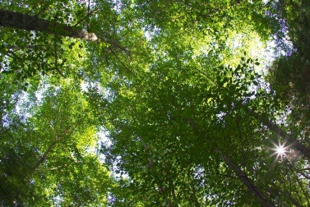 TreeCanopy-m
